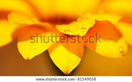 Abstract yellow flower background, extreme closeup on fresh wet daisy petals, macro details of nature, soft focus