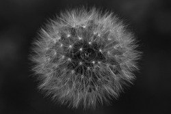 Abstraction. Lightness and airiness. A magical view dandelion. Close-up, side view. Black and white image.