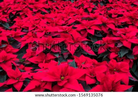 Abundance of red poinsettia plants.