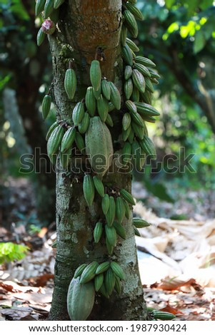 Abundant cocoa pods on cocoa tree. Healthy cocoa tree bearing abundant cocoa pods that are fresh green, red and beautiful, abundant pods, larger beans