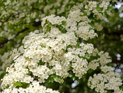Abundant flowering of hawthorn single-penned (Crataegus monogyna Jacq.)