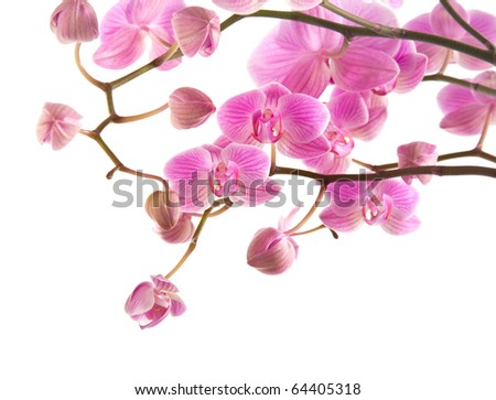 abundant flowering of pink stripy phalaenopsis orchid isolated on white;