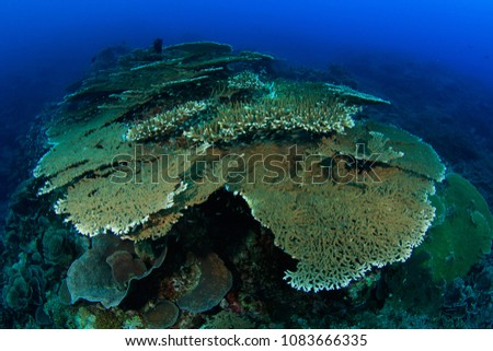 Abundant hard coral formations on the lava flow of the Gunung Api Vulcano in the Banda Islands that erupted in 1988, this picture is taken 30 years later in 2018 and shows how hast the reef re-grew