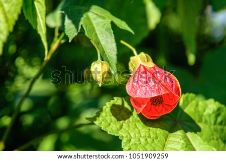 Abutilon Megapotamicum, Abutilon Hybridum (Flowering Maple Plant, Lucky Lantern Yellow) ; The red full blooming and bud flowers. similar to hanging lamps on tree. seeing the pollen inside. close up. #1051909259
