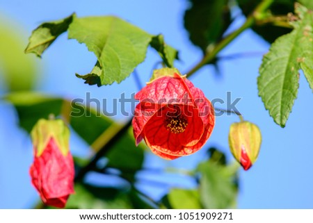 Abutilon Megapotamicum, Abutilon Hybridum (Flowering Maple Plant, Lucky Lantern Yellow) ; The red full blooming and bud flowers. similar to hanging lamps on tree. seeing the pollen inside. close up. #1051909271
