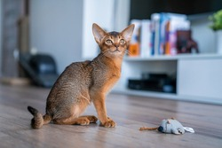 Abyssinian cat at home with her owner at home. Beautiful purebred short haired kitten.