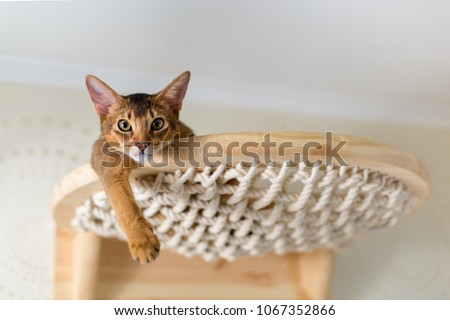 Abyssinian cat close-up on wooden stairs, hammock, in the interior of the house