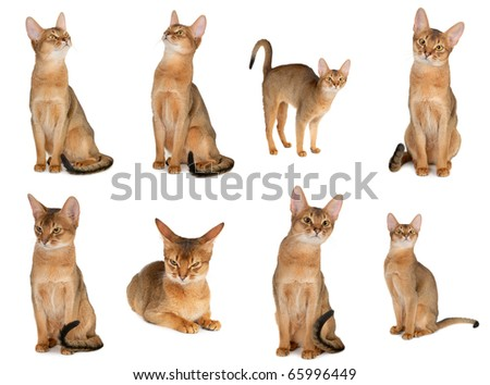 abyssinian cat collection isolated on white background.