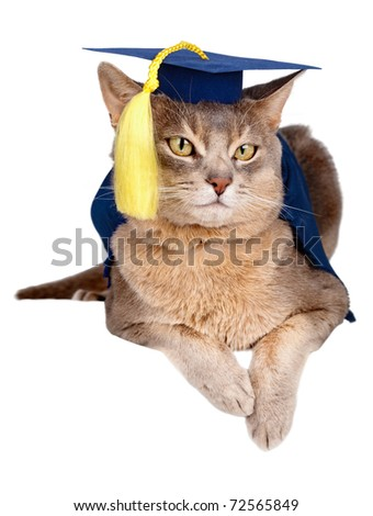 Abyssinian cat in graduation cap and gown isolated on white