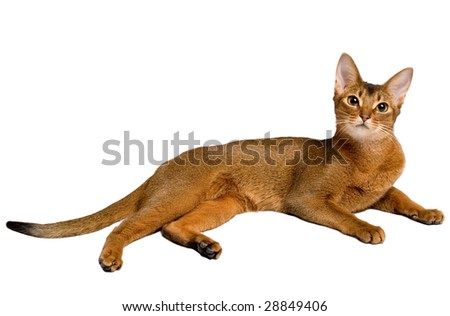Abyssinian cat isolated on white