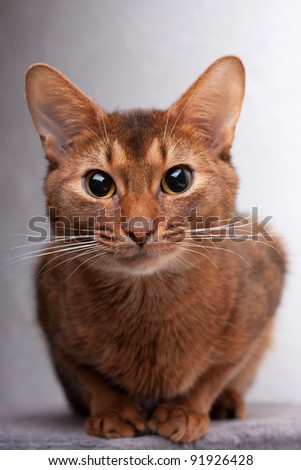 Abyssinian cat looking intently at camera