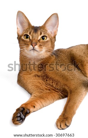 Abyssinian cat lying
