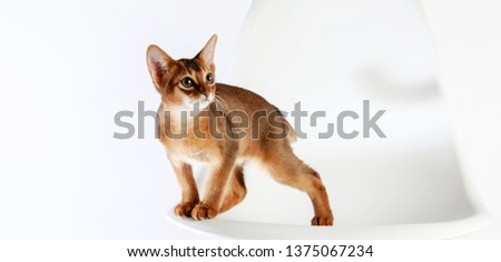 Abyssinian cat named Jam, 3 months. #1375067234