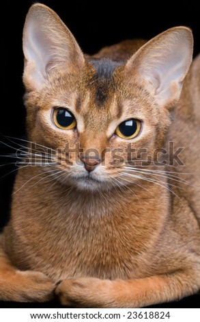 abyssinian cat on black background