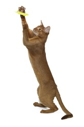 Abyssinian cat playing on white background
