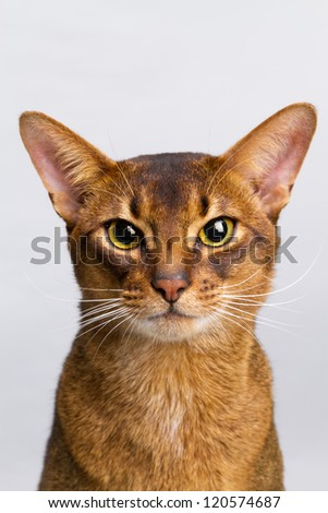 Abyssinian cat portrait.