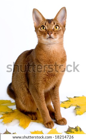 Abyssinian cat sitting on autumn leaves