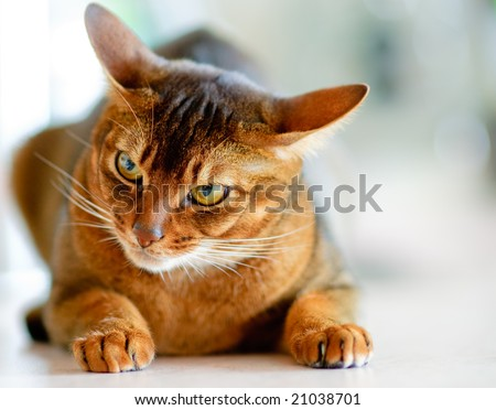 Abyssinian cat with brown a wool with watchfulness looks towards danger.