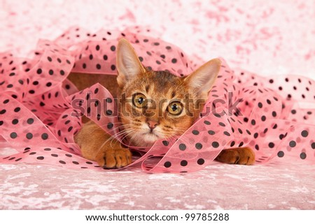 Abyssinian kitten cat lying in basket with green red dot ribbon on green background