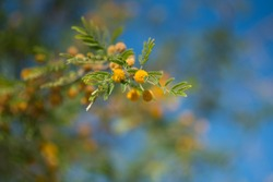 Acacia Arabica tree close up. Yello flowers with blue sky on the background.