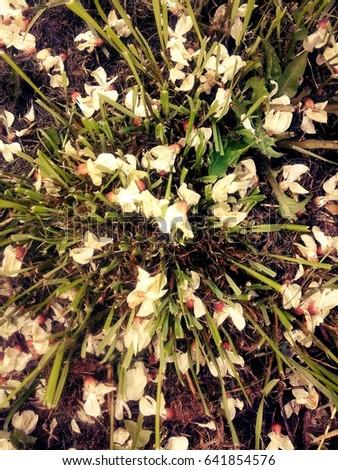 Acacia blossom Stock fotó ©