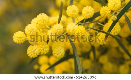 Free photos ball shape flowers avopix acacia bright yellow ball shaped flowers heads 614265896 mightylinksfo