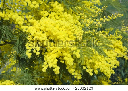 Acacia Dealbata Stock Photo 25882123 : Shutterstock