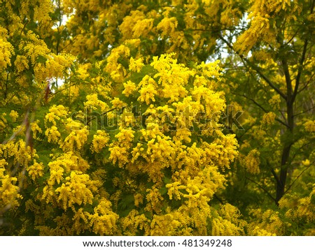 Acacia dealbata tree with yellow flowers on a garden ez canvas acacia dealbata tree with yellow flowers on a garden mightylinksfo