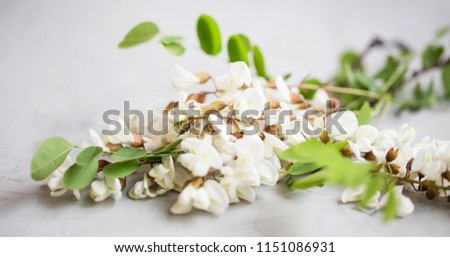 Acacia flowers on simple concrete background. Acacia branches with leaves and flowers