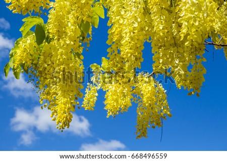 Acacia Flowers Yellow Flowers Yellow Acacia Flowers #668496559