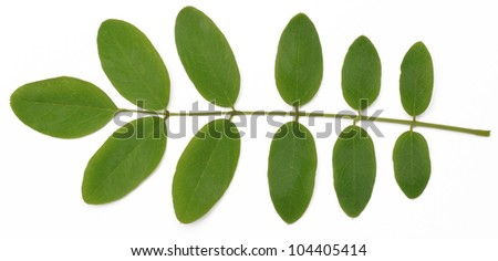 Acacia leaves on a white background