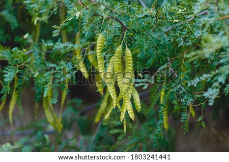 Photo of  Acacia leaves with a pattern and long green pods with seeds on a blurred background of a garden lawn. Fresh foliage and branches in the park. Summer growth of nature.