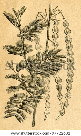 Acacia producing gum - old illustration by unknown artist from Botanika Szkolna na Klasy Nizsze, author Jozef Rostafinski, published by W.L. Anczyc, Krakow and Warsaw, 1911
