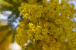 Acacia pycnantha tree (mimosa tree, golden wattle),Blossoming with bright yellow flowers, coojong, golden wreath wattle, orange wattle, blue-leafed wattle, acacia saligna , Italy