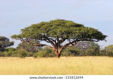Acacia tree (Acacia erioloba), Hwange National Park, Zimbabwe, southern Africa
