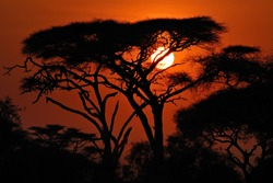 Acacia tree before sun set down in Amboseli park, Kenya. Silhouette