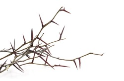 Acacia tree branch with thorns isolated on white background