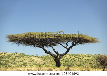 Acacia Tree in Lewa Conservancy, Kenya, Africa - stock photo