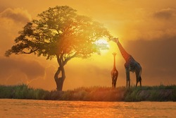 Acacia tree, sunset and giraffes in silhouette in Africa