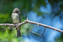 Acadian Flycatcher perched on a branch