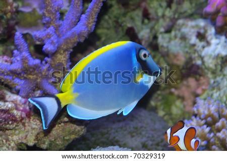 Acanthurus leucosternon powder blue tang and powderblue surgeonfish