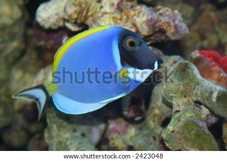 "Acanthurus Leucosternon, ""Surgeon"" -Tropical fish, underwater life of the exotic seas"