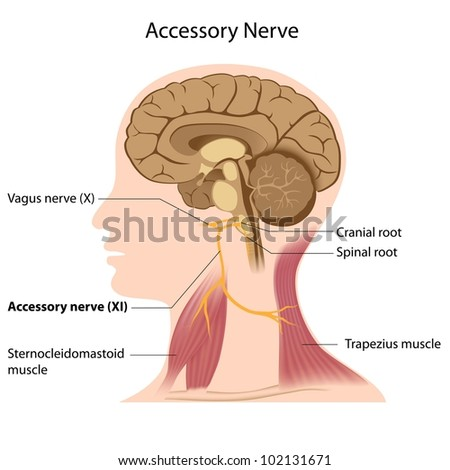 Accessory nerve