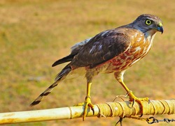 Accipiter Badius or Shikra bird tied with chain on bamboo stick in bright light in the morning