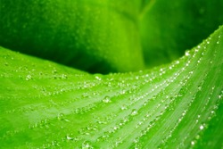 Accumulation of water drops or dewdrops on a leave of a banana plant (close-up)