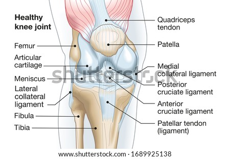 Accurate medically illustration showing knee joint with ligaments, meniscus, articular cartilage, femur and tibia. Stockfoto ©