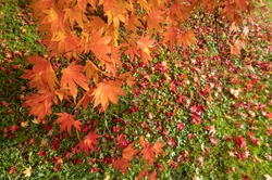 Acer and maple trees in a blaze of autumn colour, photographed at Westonbirt Arboretum, Gloucestershire, UK. The year 2020 is considered a good year for autumn colours due to weather conditions.