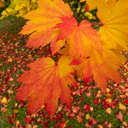 Acer maple trees in a blaze of autumn colour, photographed at Westonbirt Arboretum, Gloucestershire, UK. The year 2020 is considered a good year for autumn colours due to weather conditions.