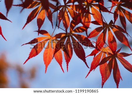 Acer palmatum, commonly known as palmate maple, Japanese maple or smooth Japanese-maple, is a species of woody plant native to Japan, China, Korea, eastern Mongolia, and southeast Russia.