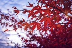 Acer palmatum leaves and wind. Fall red maples in Germany. Red-foliaged Japanese maple, close up. Good Red  Fall Foliage.